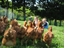 Picture of Hyline Brown Chickens.
