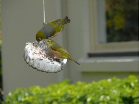 Picture of Wild Bird Gourmet Hanging Treat