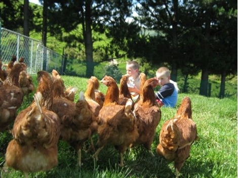 Picture of Hyline Brown Pullets.
